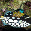 Clown Triggerfish in Aquarium — Stock Photo
