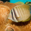 Royalty-Free Stock Photo: Desjardini Sailfin Tang in Aquarium