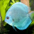Blue Diamond Discus in Aquarium - Stock Photo