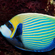 Stock Photo: Emperor Angelfish (Pomacanthus imperator)