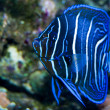 Foto Stock: Juvenile KorAngelfish in Aquarium