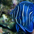 Juvenile Koran Angelfish in Aquarium - Stock Photo