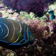 Koran Angelfish — Stock Photo