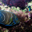 Koran Angelfish - Stock Photo
