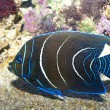 Koran Angelfish — Stock Photo #14143710
