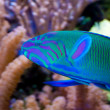 Lyretail Wrasse in front of Coral Landscape - Stockfoto