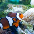 Clownfish in Aquarium — ストック写真