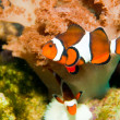 poisson clown en aquarium — Photo