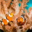 Clownfish in Aquarium — Stock Photo