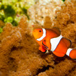 Stock Photo: Clownfish in Aquarium