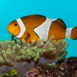 Clownfish in Aquarium — Foto Stock