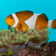Clownfish in Aquarium — Stockfoto