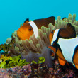 Clownfish in Aquarium — Stock fotografie