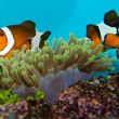 Stock Photo: Clownfish Pair
