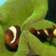 Stock Photo: Maroon Yellow Stripe Clownfish Pair