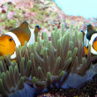 Clown Fish in Anemone — Stockfoto