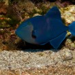 Stock Photo: Or Redtooth Triggerfish