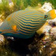 Stock Photo: Orange Lined Trigger Fish