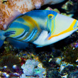Picasso Triggerfish — Stock Photo