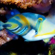 Picasso Triggerfish — Stock Photo #14145913
