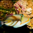 Picasso Triggerfish  — Stock Photo #14145944