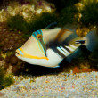 Stock Photo: Picasso Triggerfish
