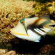 Picasso Triggerfish — Stock Photo #14145975