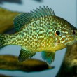 Stock Photo: Pumpkinseed (Lepomis gibossus)