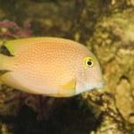 ������, ������: Yellow Tang Fish in Aquarium