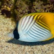 Threadfin Butterflyfish in Aquarium — Stock Photo