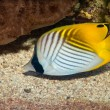 Royalty-Free Stock Photo: Threadfin Butterflyfish in Aquarium