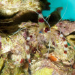 Banded Shrimp — Photo