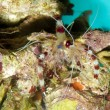Stock Photo: Banded Shrimp
