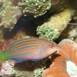 Stock Photo: Six Lines Wrasse