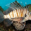 Volitan Lionfish in Aquarium — Foto de Stock