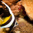 Longfin Bannerfish — Stock Photo #14149538
