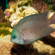 Spiny Chromis in Aquarium — Stock Photo