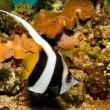 Longfin Bannerfish — Stock Photo