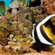 Longfin Bannerfish — Stock Photo #14149872