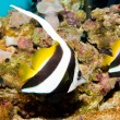 Longfin Bannerfish — Stock Photo #14149874