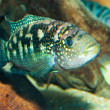 Jack Dempsey Cichlid — Stock Photo