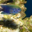 Allens or Neon Damselfish — Stock Photo