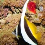 Longfin Bannerfish — Stock Photo #14149942