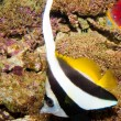 Longfin Bannerfish — Stock Photo #14149945