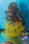 Sea Star in Saltwater Aquarium — Stock Photo
