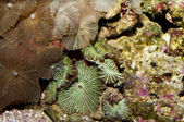 Button Polyps in Aquarium — Stock Photo