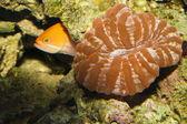 Cynarina taste, donut, flache gehirn korallen im aquarium — Stockfoto