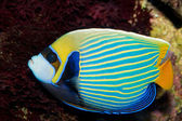 Emperor Angelfish (Pomacanthus imperator) — Stock Photo