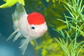 Lionhead White Goldfish in Aquarium — Stock Photo