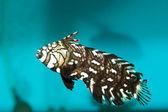 Dragonet in Aquarium — Stock Photo